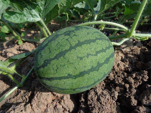 Úrodu dýní i melounů může znehodnotit bakterióza