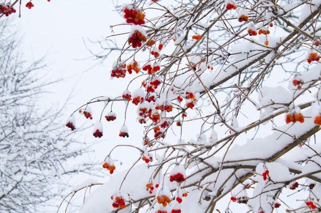 sníh, zamrzlé jeřabiny